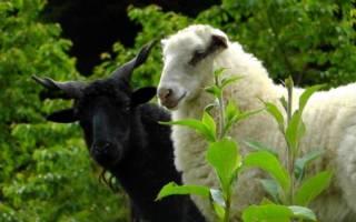 Беременная овечка: что нужно знать