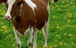 Кетоз у коров: что это такое и как лечить