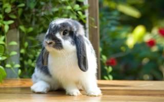 Цветной карликовый кролик: как ухаживать и чем кормить