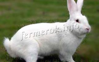 Кролики породы белый великан: особенности разведения