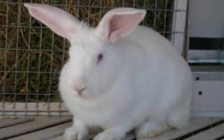 Кролик хиколь: особенности разведения в домашних условиях