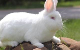 Породы быстрорастущих кроликов: бройлеры