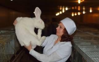Кролик как лабораторное животное