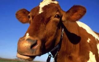Только самое интересное о коровах