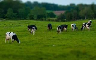 Как правильно пасти коров на пастбище