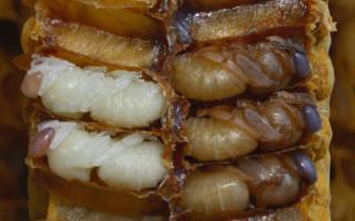 Стадии развития личинок пчел