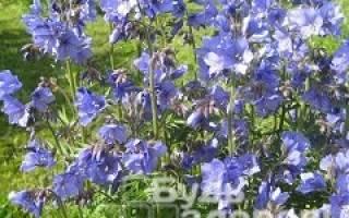 Чем полезна синюха голубая для организма