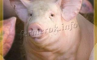 Свинья крупная белая – родоначальница всех пород