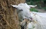 Кетоз у козы: признаки проявления болезни, лечение