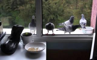 Как правильно и надёжно отвадить голубей от балкона