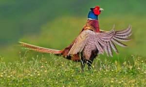 Как поймать фазана своими руками