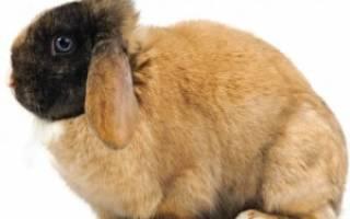 Кроличий жир: чем полезен, как можно использовать