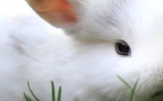 Едят ли кролики полынь?