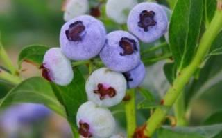 Голубика нортланд: описание и выращивание сорта