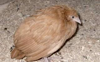 Соликокс: инструкция по применению для цыплят