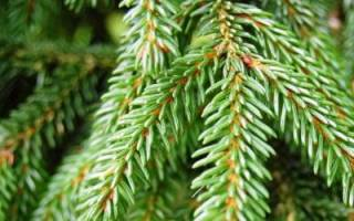 Как вырастить обыкновенную ель, посадка вечнозеленого дерева на дачном участке