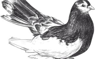 Волжские ленточные голуби: характеристика, особенности