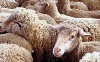Загон для овец улучшит состояние вашей отары