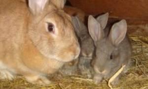 Можно ли кроликам давать обычное и сухое молоко