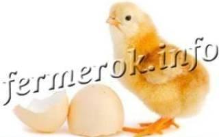 Сколько времени курица сидит на яйцах для вывода цыплят