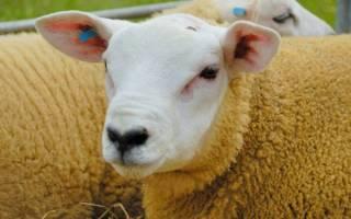 Все об овцах породы тексель