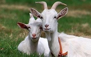 Козоводство: разведение коз