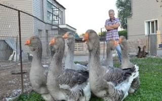 Тулузская порода гусей: особенности разведения в домашних условиях