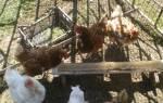 Кормление кур зимой для яйценоскости
