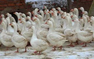 Породы гусей для домашнего разведения с фото и описанием