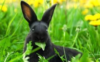 Можно ли кормить кроликов щавелем