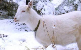 Зимнее козоводство: кормление