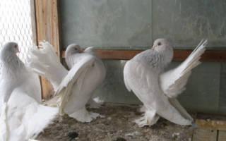 Классификации голубей по породам