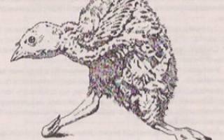 Почему у индюшат выворачиваются ноги