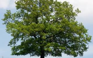 Описание и особенности выращивания черешчатого дуба (дуб обыкновенный)