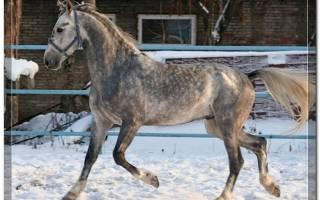 Порода лошадей орловский рысак
