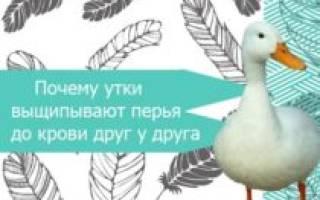 Утки выщипывают перья друг у друга