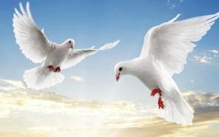Венгерские высоколётные голуби: история происхождения, описание, содержание