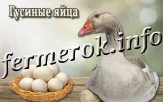 Гусиные яйца: чем отличаются от куриных, чем полезны, как приготовить
