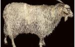Знакомимся с лучшими породами коз