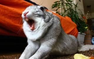 Что делать, если чихает кролик