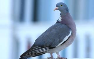 Продолжительность жизни голубей на воле и в домашних условиях