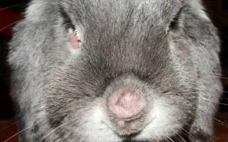 Миксоматоз кроликов: чем опасен, прививка, лечение в домашних условиях