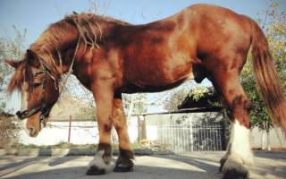 Порода лошадей советский тяжеловоз