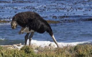 Прячут ли страусы голову в песок?
