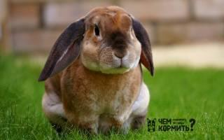 Кролики породы обер: как ухаживать и чем кормить