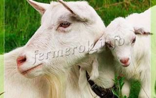 Молочные козы зааненской породы