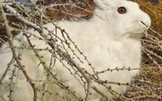 Ловля кроликов в различных условиях: как сделать ловушки своими руками