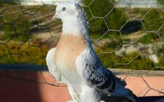 Содержание и уход за турецкими бойными голубями такла
