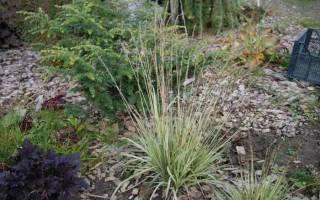 Выращивание молинии голубой и тростниковой