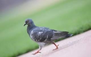 Почему голуби кивают головой, когда ходят